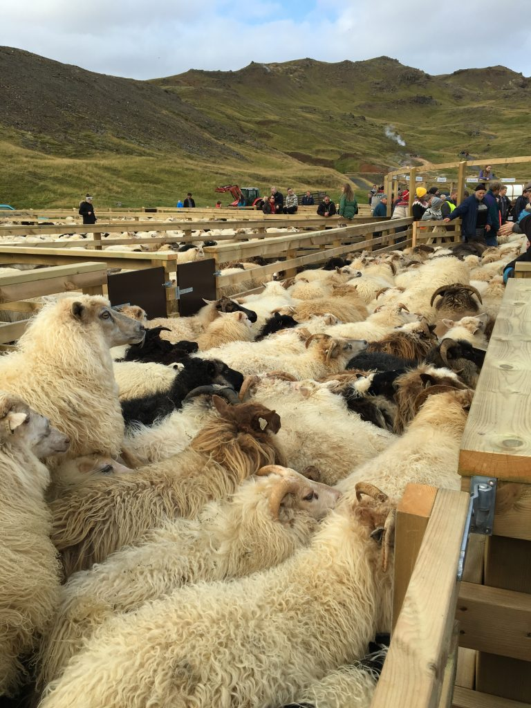 Herd of sheep running into the round pen